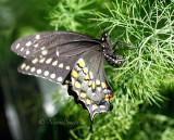 Black Swallowtail AU16 #2976