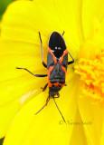 Small Milkweed Bug-Lygaeus kalmii S16 #7783