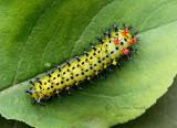 Hyalophora Cecropia  JL16 #6567