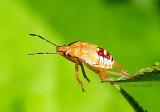 Spined Soldier Bug-Podisus maculiventris  JL16 #0708