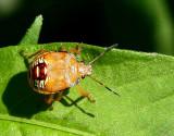 Spined Soldier Bug-Podisus maculiventris  JL16 #0900