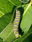 Monarch Caterpillar AU16 #4135