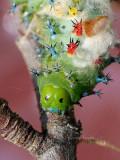 Hyalophora cecropia AU16 #5623