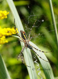 Banded Argiope AU16 #3762