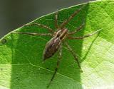 Agelenopsis sp. S16 #7094