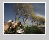 Horses on the dike