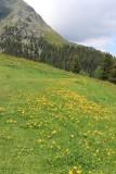 Wildflowers in Mürren