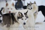 341 Siberian Husky.jpg
