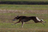 Lure_Coursing_trial_2015_013676.jpg
