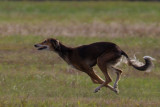 Lure_Coursing_trial_2015_013677.jpg
