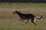 Lure_Coursing_trial_2015_013678.jpg