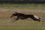 Lure_Coursing_trial_2015_013679.jpg