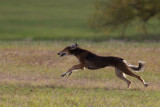 Lure_Coursing_trial_2015_013680.jpg