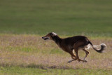 Lure_Coursing_trial_2015_013681.jpg