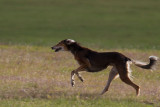 Lure_Coursing_trial_2015_013682.jpg