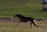 Lure_Coursing_trial_2015_013684.jpg