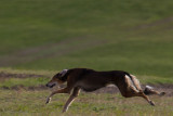 Lure_Coursing_trial_2015_013685.jpg
