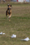 Lure_Coursing_trial_2015_013686.jpg