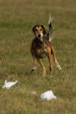 Lure_Coursing_trial_2015_013690.jpg