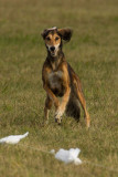 Lure_Coursing_trial_2015_013691.jpg