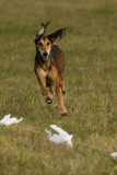 Lure_Coursing_trial_2015_013692.jpg
