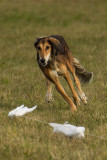 Lure_Coursing_trial_2015_013693.jpg