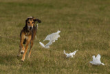 Lure_Coursing_trial_2015_013694.jpg