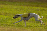 Saluki Club Lure Coursing Nov 2015
