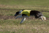 Lure_Coursing_trial_2015_013876.jpg