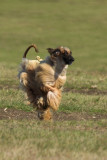 Lure_Coursing_trial_2015_013970.jpg