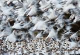 Snow Geese Uplifting