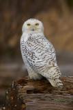 Snowy owl Gaze