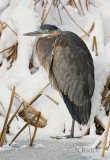 Heron on winter pond