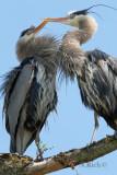 Heron Nesting Dance