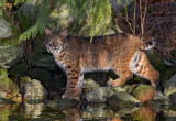 Bobcat Encounter
