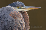 Blue Heron at Rest