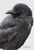 Crow Profile