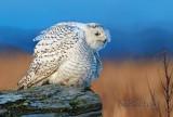 Snowy Owl sundown