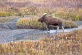 Marsh Moose scene