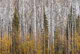 Trembling Aspen in Autumn