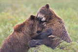 Grizzly Bear play