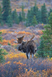 Moose at Sundown