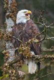 Calling Eagle