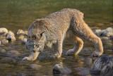 Lynx Along River