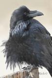 Ruffled Raven