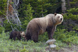 Iconic mother grizzly bear and young cub ~ a personal favorite.