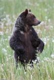 Grizzly bear cub in a dandelion field