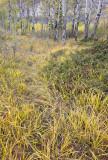 Wild grasses: Kootney Plains. Alberta