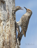 flicker and chick