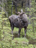 Young male moose in deep forest.